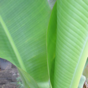 banana_leaves1