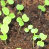 seedlings_shoots