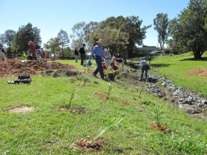 Planting native grass to regenerate the bank and create frog habitat...