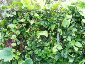 Climbing (Ceylon) Spinach