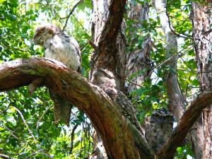 Our 3 new resident Tawny Frogmouth Owls