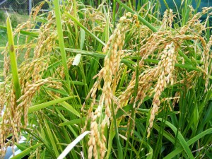 Rice crop ready for harvest