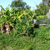 Banana circle and food forest below muscovy duck pen