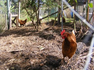 Chooks in their run
