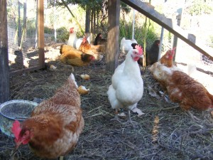 Chickens at the CRCG