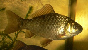 Bronze Perch